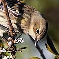 Yellow-rumped Warbler - Precious by Travis Truelove