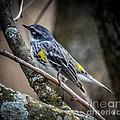 Yellow Rumped Warbler by Ronald Grogan