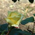 Yellow Satin by Lorna Hooper