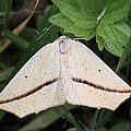 Yellow Slant-line Moth by Doris Potter