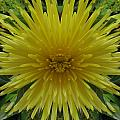 Yellow Spider Mum by Michele Caporaso