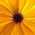 Yellow Splendour by Clare Bevan