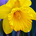 Yellow Spring Daffodil by Kay Novy
