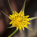 Yellow Star Flower by Richard Thomas