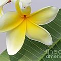 Yellow Star Plumeria by Sabrina L Ryan