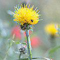 Yellow Star-thistle by Jivko Nakev