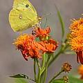 Yellow Sulphur Butterfly by Debra Martz