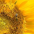 Yellow Sunflower - Detail by Matthias Hauser