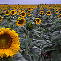 Yellow Sunflower Field by Dave Dilli