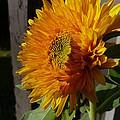 Yellow Sunflower by Nicki Bennett