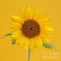 Yellow Sunflower On Yellow by Rosemary Calvert