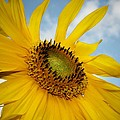 Yellow Sunflower by Susan McMenamin