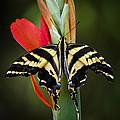 Yellow Swallowtail Butterfly  by Saija  Lehtonen
