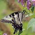 Yellow Swallowtail Butterfly Taking A Drink by Jackie Farnsworth