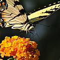 Yellow Swallowtail by Kelly Nowak