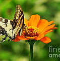 Yellow Swallowtail by Kitrina Arbuckle