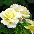 Yellow Tea Roses by Elaine Weiss