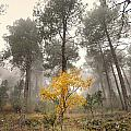 Yellow Tree In The Foggy Forest by Guido Montanes Castillo