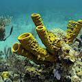 Yellow Tube Sponge (aplysina Fistularis by Pete Oxford