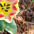 Yellow Tulip by Andrea Anderegg