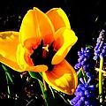 Yellow Tulip by Jasmin Hrnjic