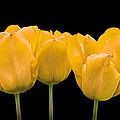 Yellow Tulip Triple by Gill Billington