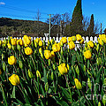 Yellow Tulips Before White Picket Fence by Kaye Menner