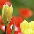 Yellow Tulips by Heiko Koehrer-Wagner