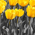 Yellow Tulips by Jeffery L Bowers