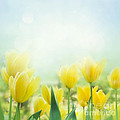 Yellow Tulips by Mythja  Photography