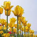 Yellow Tulips by Scott Cameron