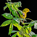 Yellow Warbler by Bill Wakeley