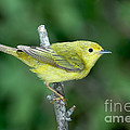 Yellow Warbler Dendroica Petechia Female by Anthony Mercieca