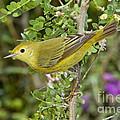 Yellow Warbler Hen by Anthony Mercieca