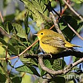 Yellow Warbler by Jack R Brock