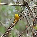 Yellow Warbler by Karen Silvestri