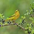 Yellow Warbler Male Perched On Elbow by Rolf Nussbaumer