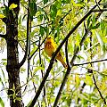 Yellow Warbler by PJQandFriends Photography
