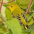 Yellow Warbler by Richard Kitchen