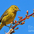 Yellow Warbler by Robert Bales