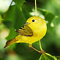 Yellow Warbler by Zinvolle Art