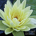 Yellow Water Lily Nymphaea by Heiko Koehrer-Wagner