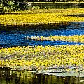 Yellow Waterlilies by Karen Saunders