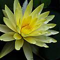 Yellow Waterlily by Christi Kraft