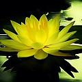 Yellow Waterlily Nc by Beth Akerman