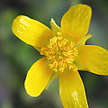 Yellow Weed Flower by Ester  Rogers