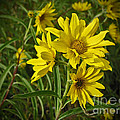 Yellow Wild Flowers by Minding My  Visions by Adri and Ray