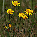 Yellow Wild Flowers Along The Chehalis Trail by Tom Janca