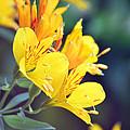 Yellow Wild Flowers by Carol  Eliassen