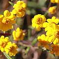 Yellow Wild Flowers by Phyllis Bradd